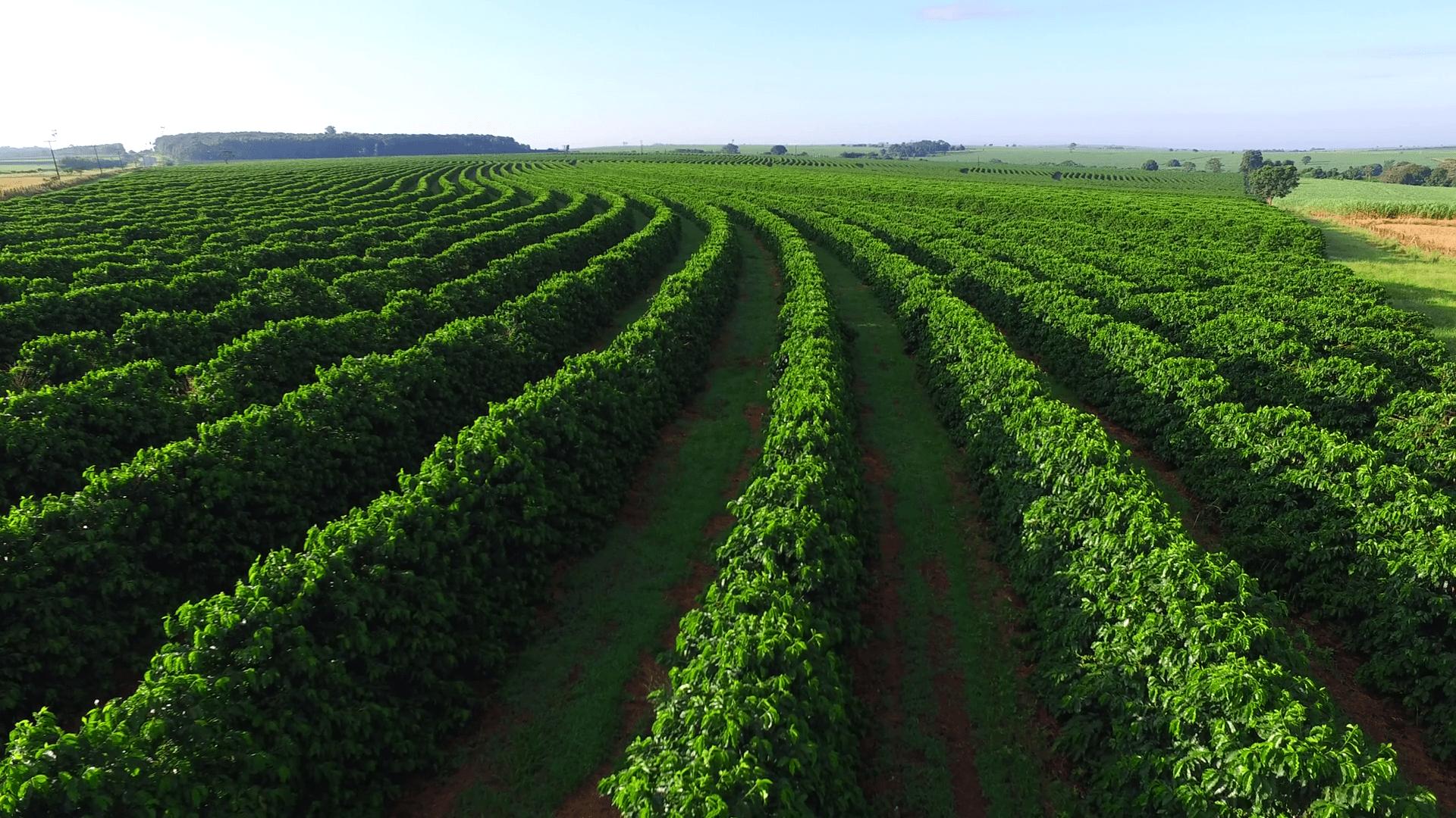Кофейная плантация